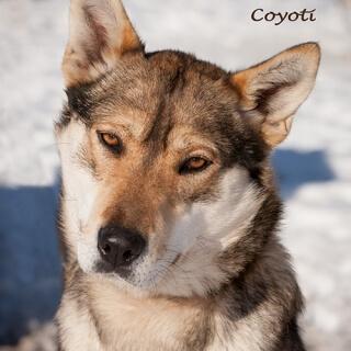 Coyoti